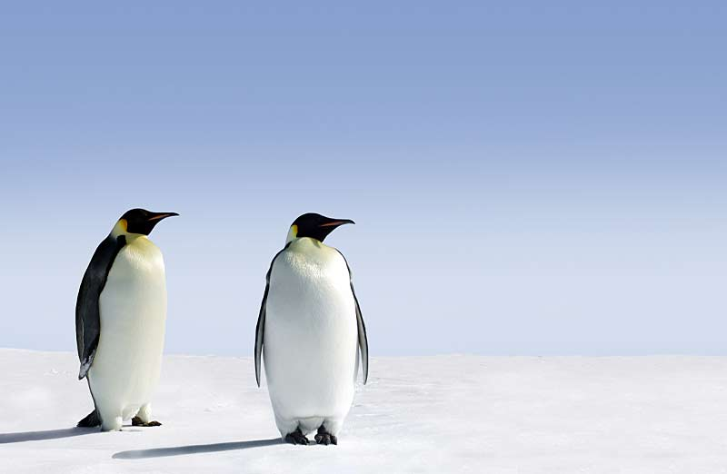 Pinguine Kategorie Heizöl